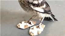 Bức ảnh chú chim nhại đi giày gây bão trên mạng Internet